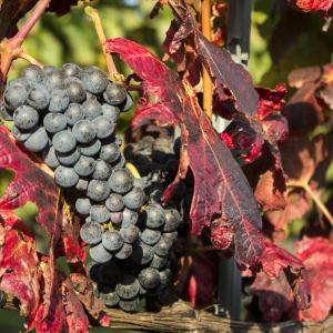 KNW szőlők / KNW Grapes